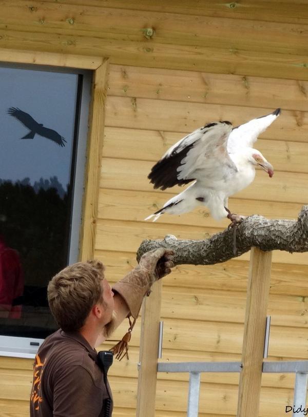"""nouveau spectacle d'oiseaux 2014 """"les maîtres des airs"""", le 26 Juin 2014 suite 6"""