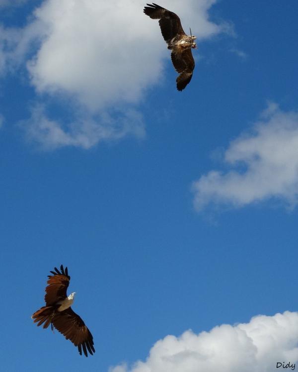 """nouveau spectacle d'oiseaux 2014 """"les maîtres des airs"""",le 21 Août suite 5"""