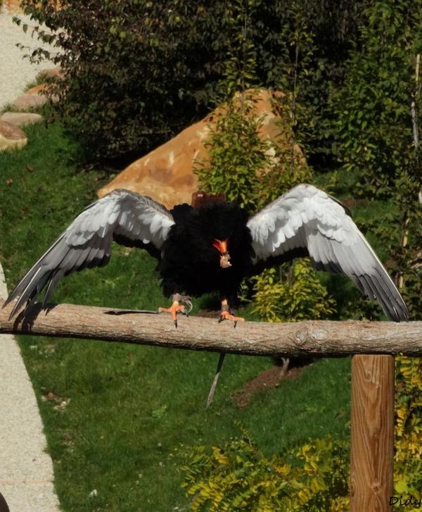 """nouveau spectacle d'oiseaux 2014 """"les maîtres des airs"""",le 26 septembre 2014 suite 3"""