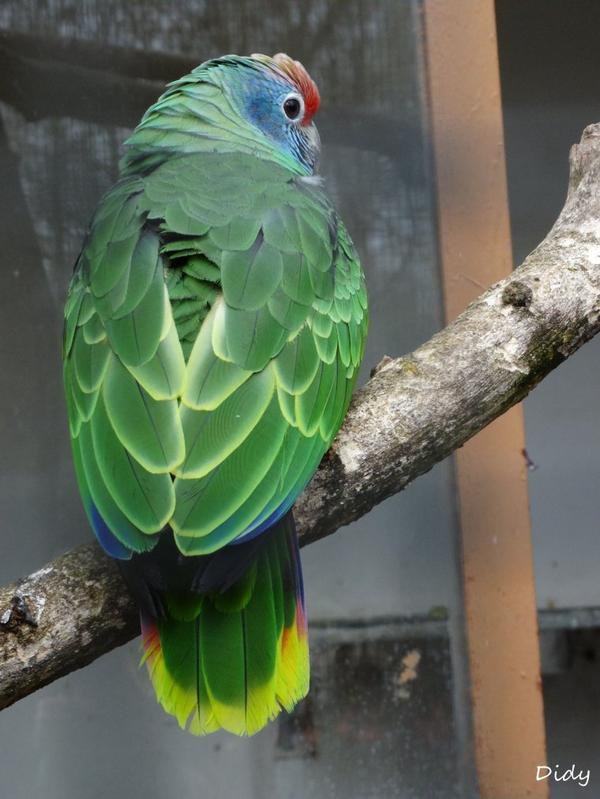 AMAZONE A JOUES BLEUES