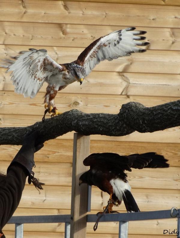 """nouveau spectacle d'oiseaux 2014 """"les maîtres des airs"""", le 10 Novembre 2014 suite 2"""