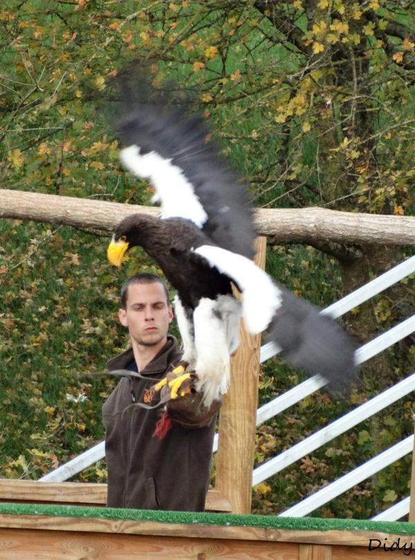 """nouveau spectacle d'oiseaux 2014 """"les maîtres des airs"""", le 10 Novembre 2014 suite 5"""