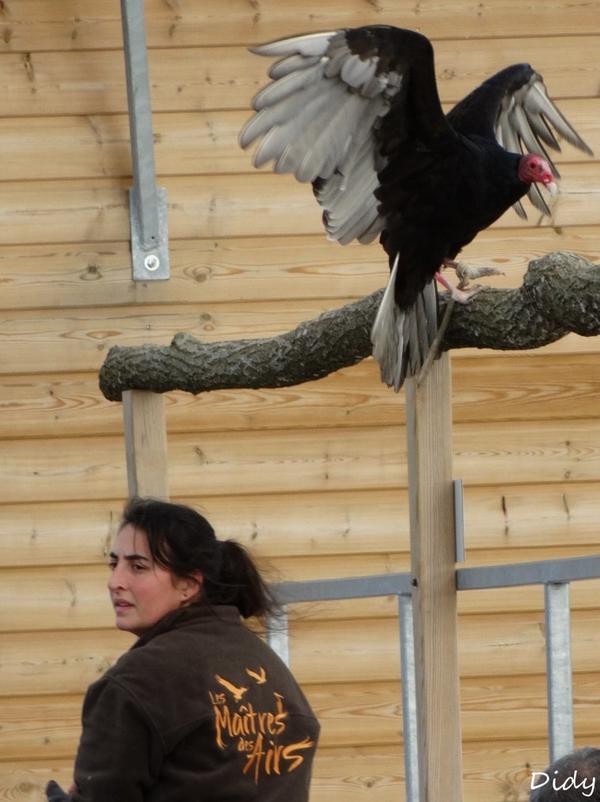 """nouveau spectacle d'oiseaux 2014 """"les maîtres des airs"""", le 10 Novembre 2014 suite 7"""