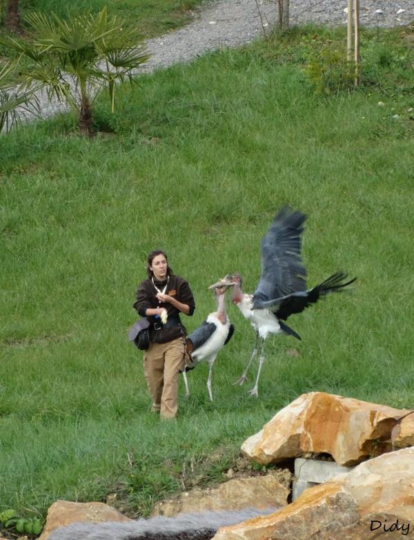 """nouveau spectacle d'oiseaux 2014 """"les maîtres des airs"""", le 10 Novembre 2014 suite 8"""