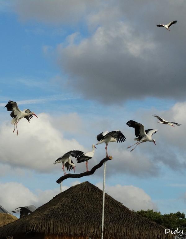 """nouveau spectacle d'oiseaux 2014 """"les maîtres des airs"""", le 10 Novembre 2014 suite 12"""