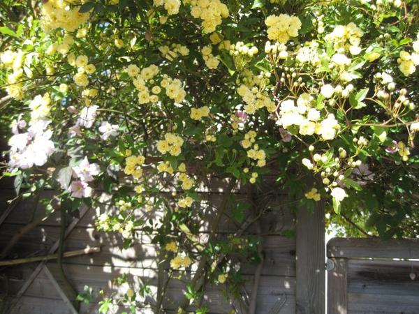 ma passion des fleurs reprend le dessus ..je plante ce rosier généreux dans tous mes jardins je vous le recommande .. bonne Pâques à toutes !