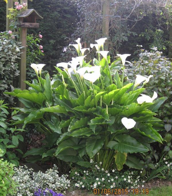 bon weekend ...mes aromes 3 ans après plantation avec un peu de  brume ce matin là ...j'aime l'élégance de ces fleurs !!