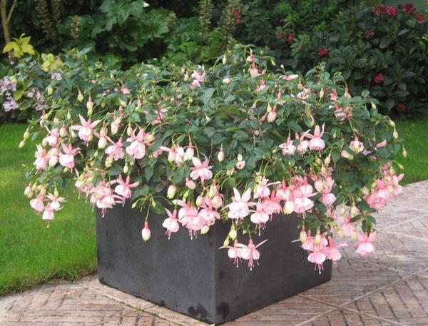 un fuchsia qui ressemble à de petites danseuses de l'opéra un tutu rose et blanc avec des petites pointes blanches...il fleurit beaucoup j'aime !!