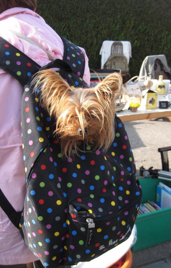 la photo d'un chien coiffé pétard trop mignon qui fait à sa manière les brocantes bon week end il parait qu'il va faire beau profitons en