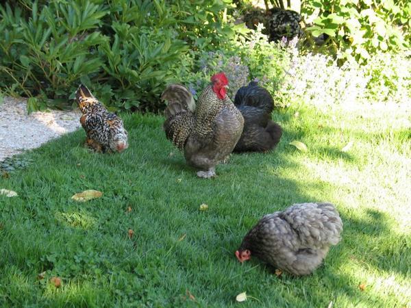 pour Pâques un petit retour en arrière mes petites poules que j'ai gardé entre 7 et 9 ans pour certaines avant qu'un renard vienne mes les tuer !!