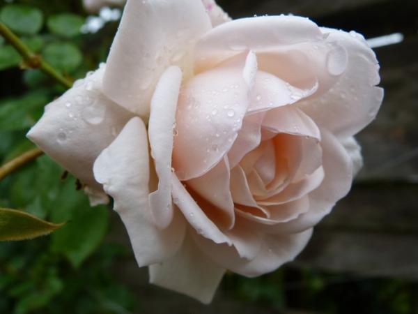 rose automnale de mon jardin
