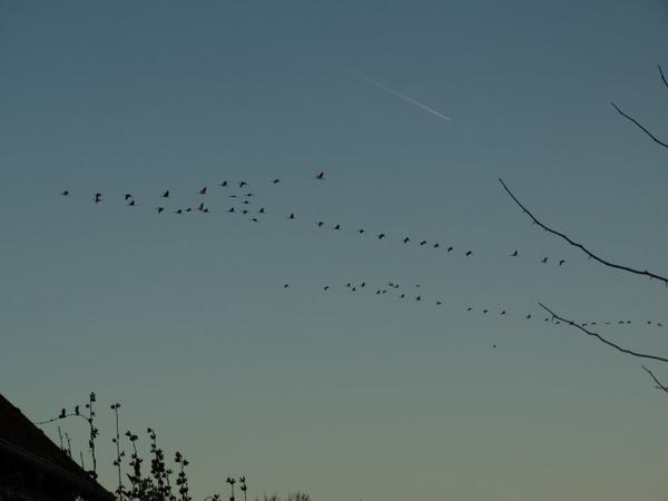 9 mars - grues cendrées en migration