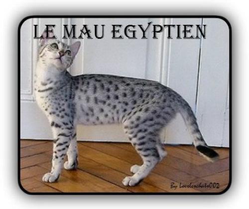 Le Mau égyptien