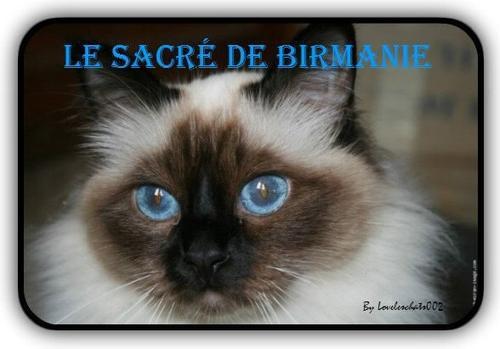 Le sacré de Birmanie, ma race préférée !