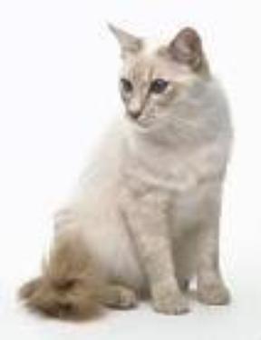 Le chat Balinais =D