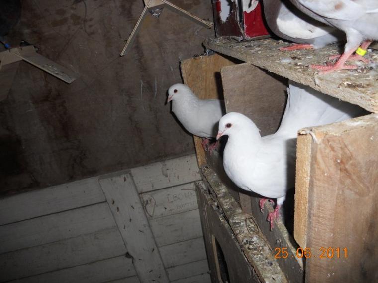 kelke fotos de mes anciens pigeon je les ai retrouver par azar sur l'ordi dmey parents xP