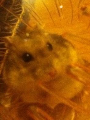 patche ... un amour de hamster