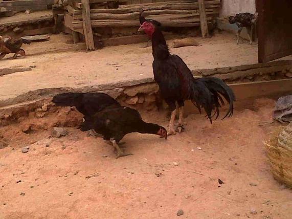 Mon coq pur LITA avec ses femelles