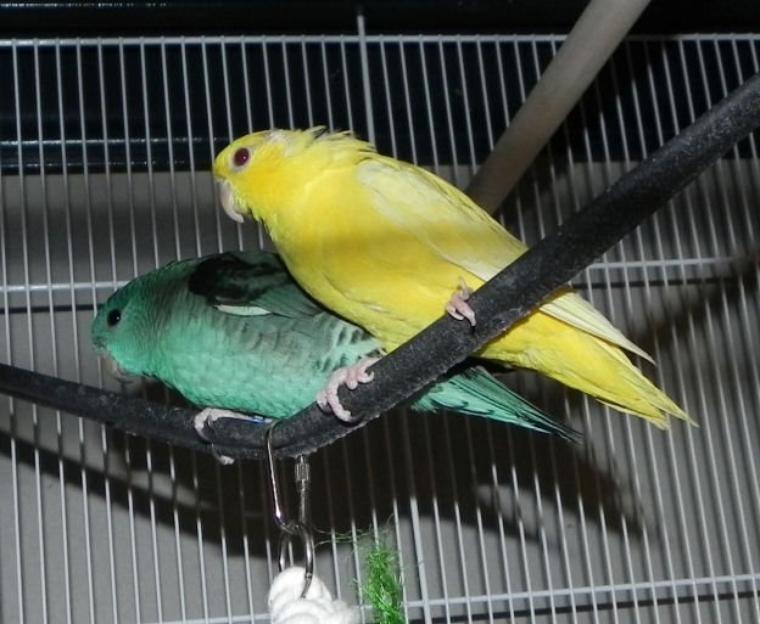 Mon premier couple de perruche catherine