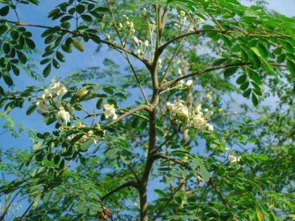 Plante 2 : Anamerongo
