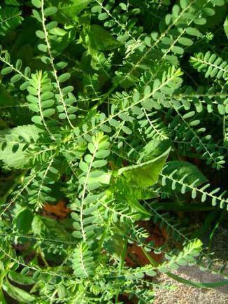 Plante 4 : Ambanivoa, Ambanvy