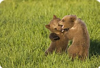 Evénement - Plusieurs oursons aperçus dans les Pyrénées !