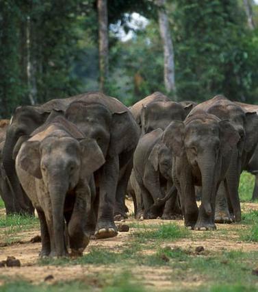 10 éléphants sauvages vraisemblablement empoisonnés en Malaisie