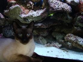 L'aquarium récifal eau de mer 250l et Gouchka =)
