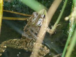 Photos des grenouilles de mon bassin ^-^