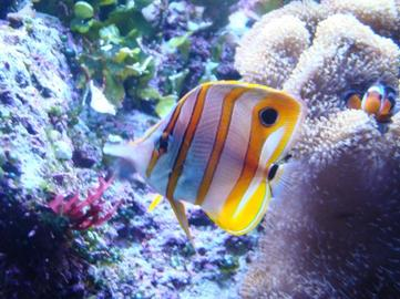 poisson de mon aquarium eau de mer chelmon passera une ombre dans la lumi 232 re obscure