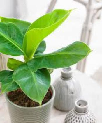 2008.04*2-plante d'interrieur:bananier