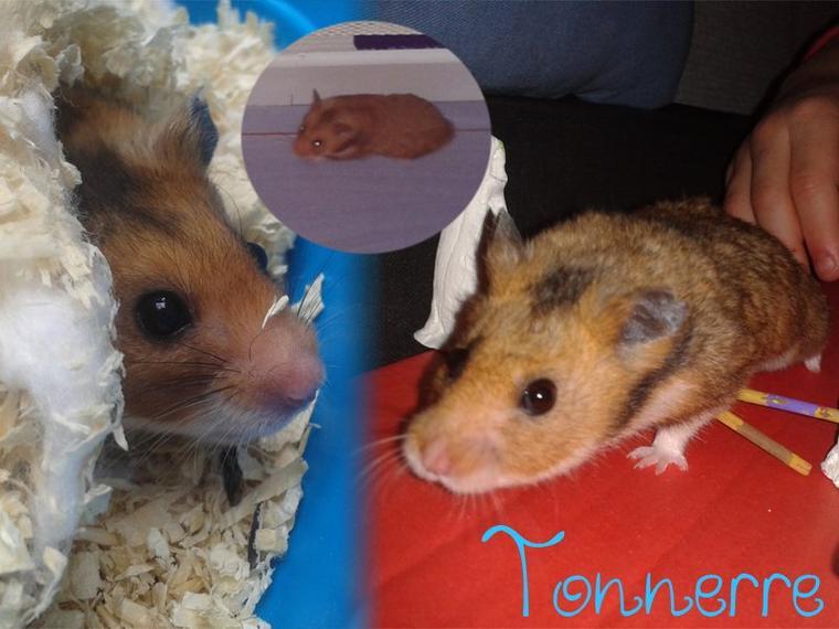 Le Hamster de mon frère ♥ Tonnerre ♥