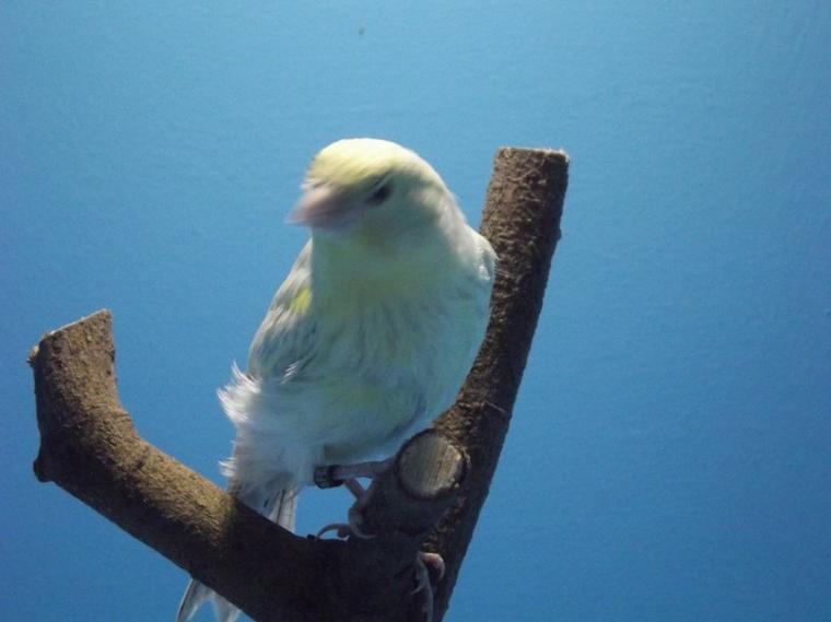 jeune agate opale jaune mosaique