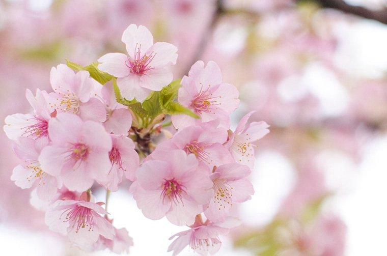 La saison des cerisiers japonais....