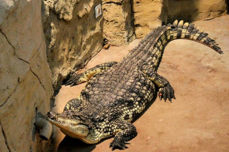 Photo de mon cher ami  toujours le même, -> :D crocodile,  refaite par moi.