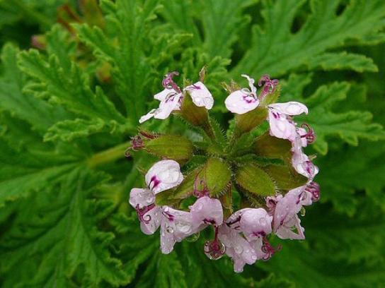 Le géranium citron (Pelargonium citrosa) efficace contre les moustiques.