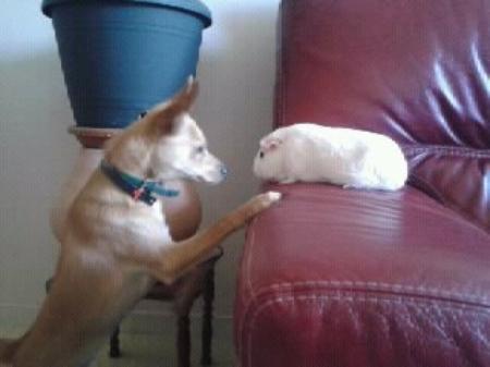Avoir un chien gentleman et un cochon d'inde alcoolique What else ?