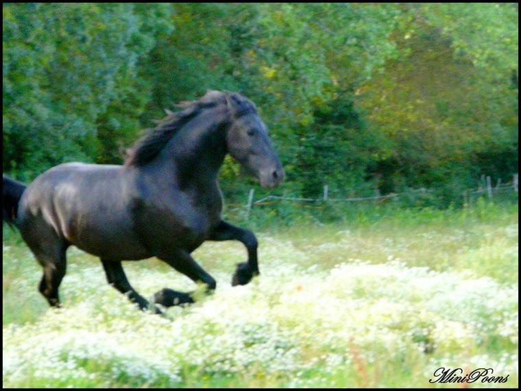 ANGEL,ETALON FRISON DISPONIBLE POUR DES SAILLIES