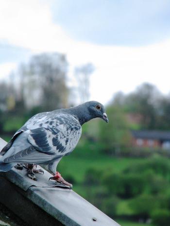 Loisir Photographique: Pigeon