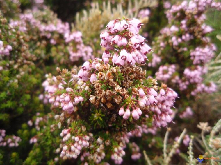 La Bruyère à fleurs nombreuses