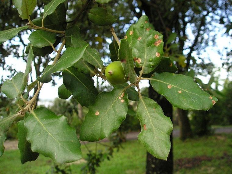 Le Chêne vert