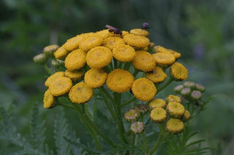 Tanaisie commune (Tanacetum vulgare)