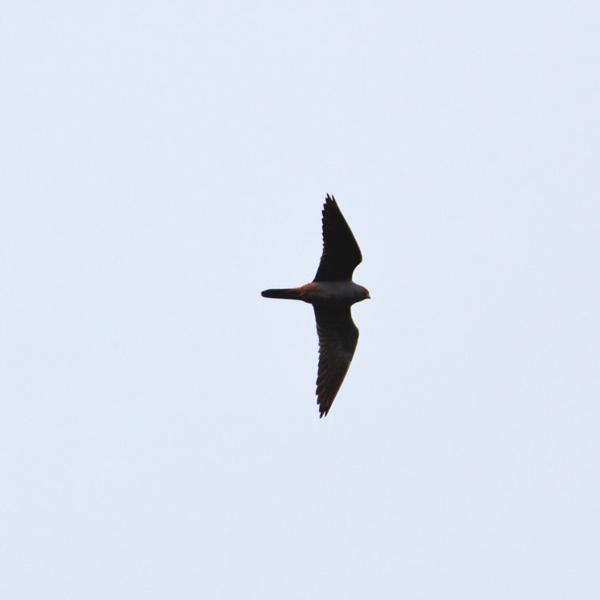 Faucon de Kobez