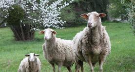 S'il vous plaît... dessine-moi un mouton.