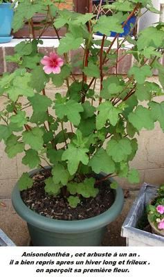 Et voici mes fleurs .... chez moi ..... floraison tardive due à cette météo frileuse !!!