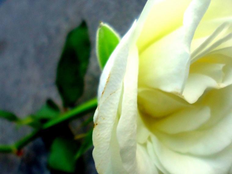 """Il lui donne douze roses, dont une fausse, & lui dit :"""" Je t'aimerais jusqu'à ce que la dernière fane """""""