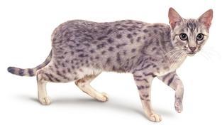 Race de chats : l'Ocicat