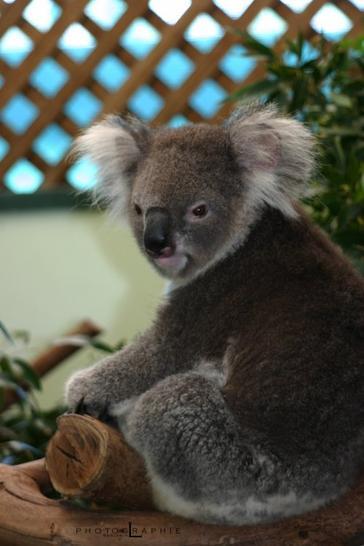 Le koala qui fait sa star !