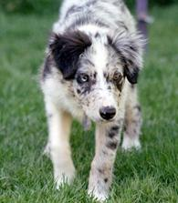 l0ve-border-collie-l0ve