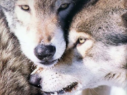 Image de Loups